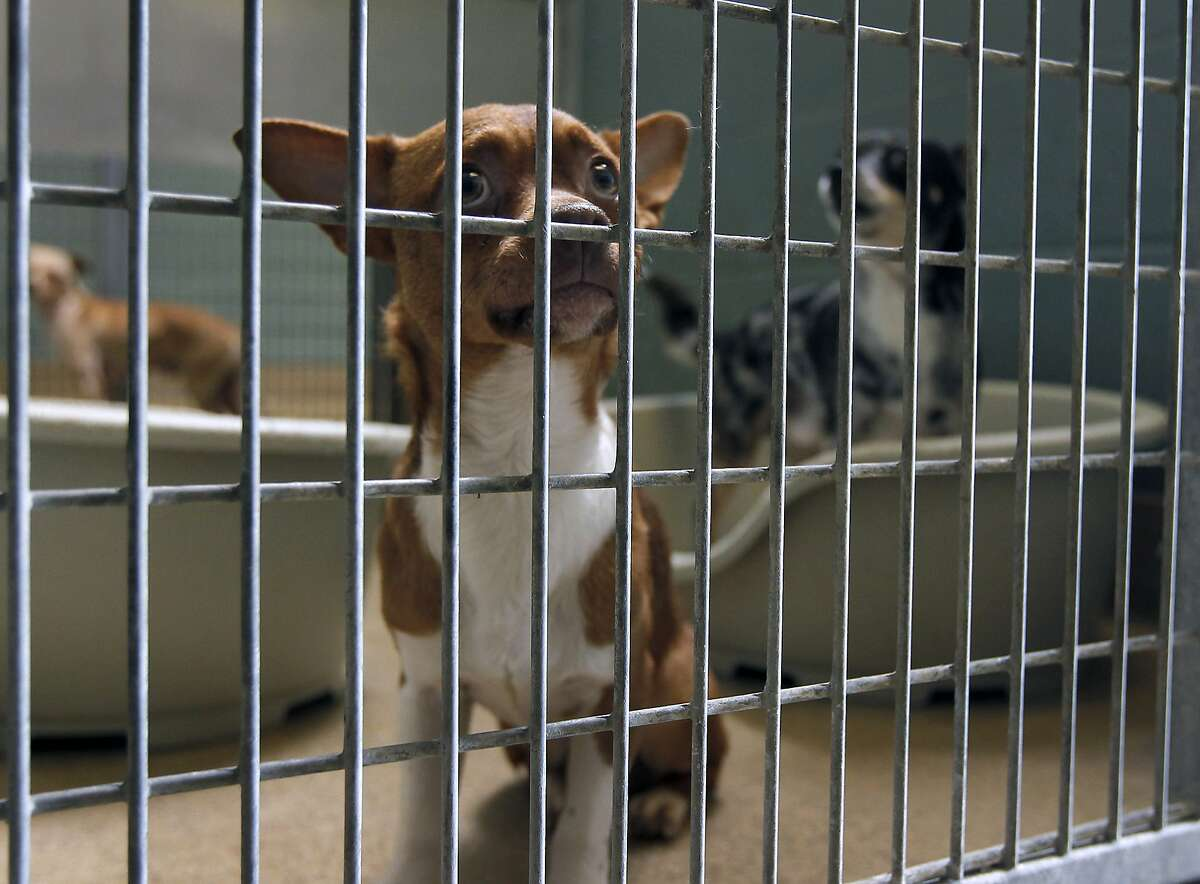 A stray chihuahua is housed at the Oakland Animal Shelter in Oakland, Calif. on Friday, Sept. 19, 2014. A growing population of stray chihuahuas are roaming throughout the city.