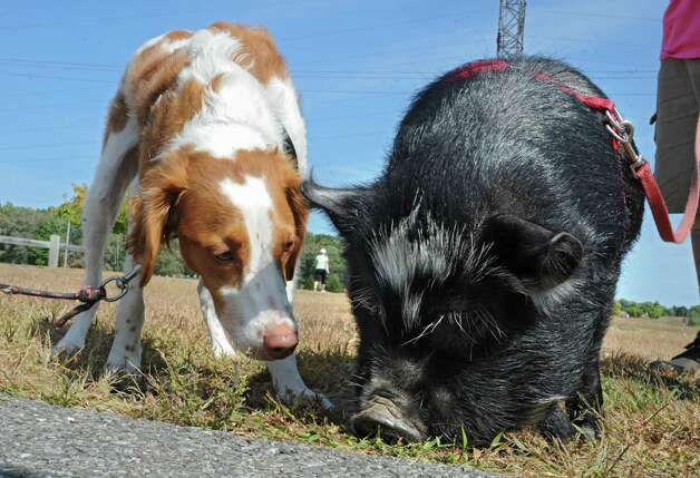 Barney, a 2 yr. old Brittney Spaniel checks out Clyde, a pig from Halfmoon at The Albany Walk for Farm Animals at The Crossings of Colonie on Sunday, Sept. 21, 2014 in Colonie, N.Y. For more than 25 years, Farm Sanctuary has rescued and provided sanctuary for abused farm animals, educated the public about the routine cruelty they endure on factory farms, and advocated on their behalf. The Walks bring together thousands of people from different backgrounds in cities all across the U.S. and Canada to raise vital funds to support the organizationOs life-saving work and promote kindness towards farm animals. (Lori Van Buren / Times Union) Photo: Lori Van Buren / 00028631A