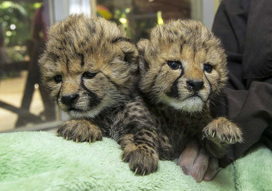Sleepy sisters:The San Diego Zoo Safari Park's 3-week-old baby cheetahs rest after a bottle feeding at the zoo's animal 