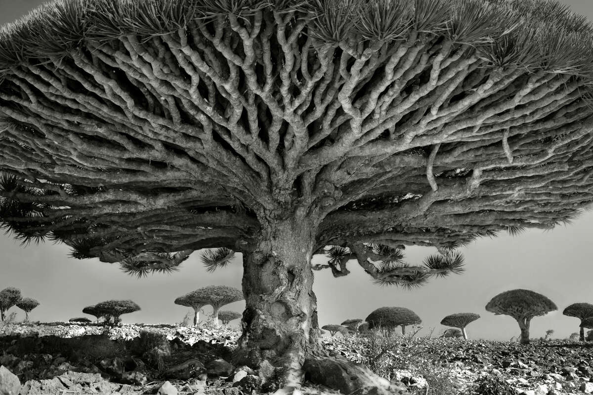 """Dragon's blood trees on the Yemeni island of Socotra are seen in """"Heart of the Dragon"""" (2010), platinum print by Beth Moon."""
