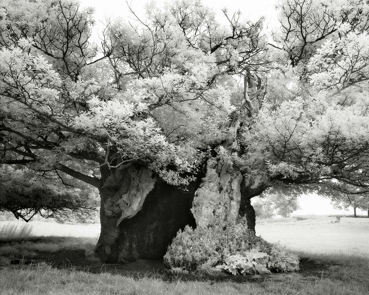 """At left: Moon writes that """"The Queen Elizabeth Oak"""" (2004) in Midhurst, West Sussex, England, is thought to date back to the time of William the Conqueror."""