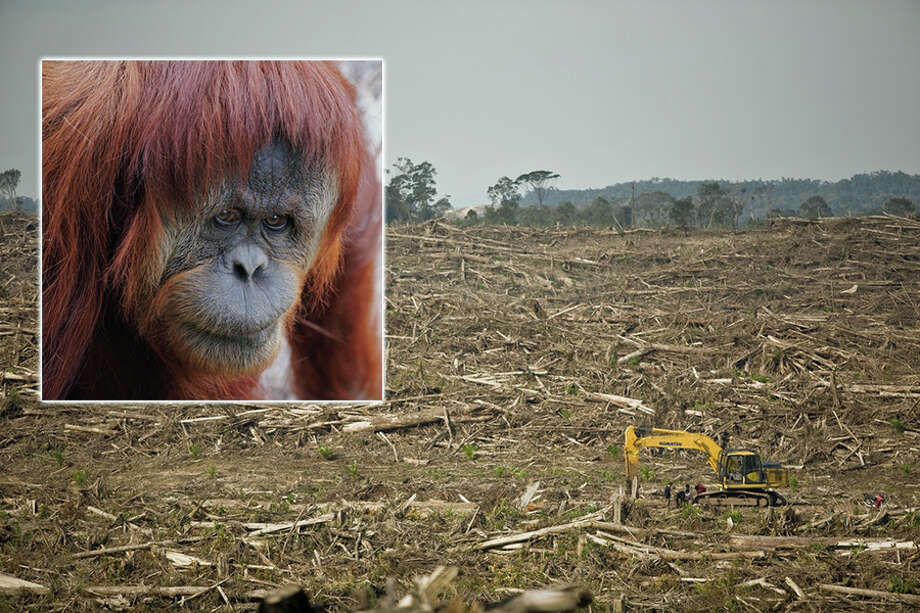 The explosion in palm oil use, largely to replace unhealthy trans fats in food, has wreaked havoc on tropical rainforest ecosystems across Southeast Asia, pushing some endangered species -- including orangutans like the one pictured here -- to the brink. Photo: Contributed Photo, Contributed / New Canaan News Contributed