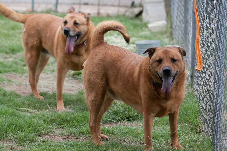 Gwinn, in back, and Rowdy, brother and sister chow mixes, are in need of a forever home. Photo: R. Clayton McKee, Freelance / © R. Clayton McKee