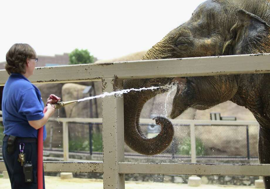 A zookeeper aims a spray of water into the mouth of Lucky, the aging elephant at the San Antonio Zoo. Readers continue to implore the zoo to release the elephant to a sanctuary. Photo: Timothy Tai / San Antonio Express-News / © 2014 San Antonio Express-News