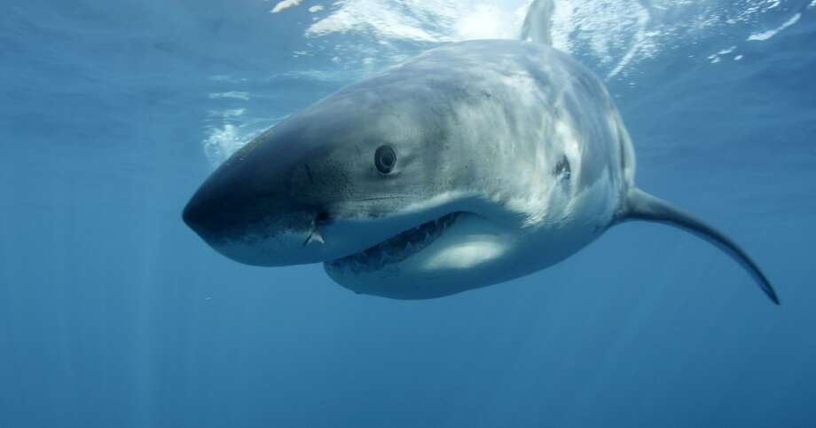 An unuually large cluster of great white sharks has been spotted offshore near San Francisco and Pacifica, raising concerns for ocean swimmers, kayakers and surfers. (AP Photo/Discovery Channel, Andrew Brandy Casagrande, File) Photo: Andrew Brandy Casagrande, Associated Press