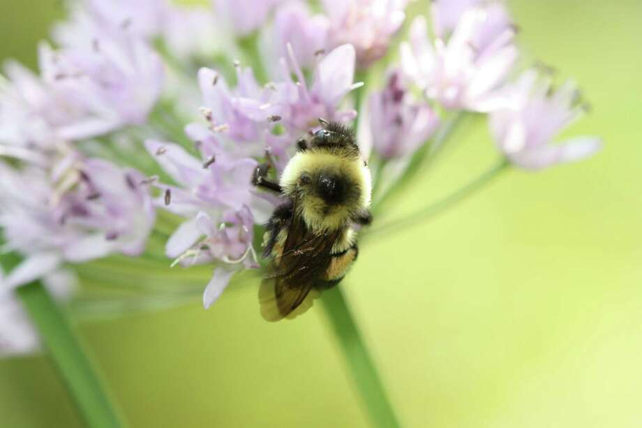 The Rusty Patched Bumblebee has disappeared from 87 percent of its range. Experts believe they are catching diseases from commercially managed bees and are being poisoned by insecticides. It is one of the species named by the Endangered Species Coalition in its report, Vanishing: Ten American Species Our Children May Never See.