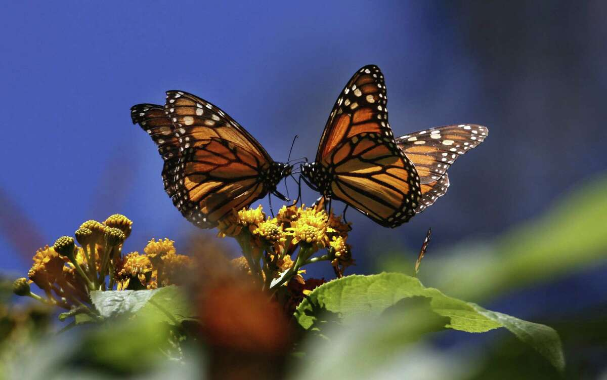 Monarch butterflies covered 1.65 acres in their wintering grounds west of Mexico City, down from 44.5 acres in 1996.