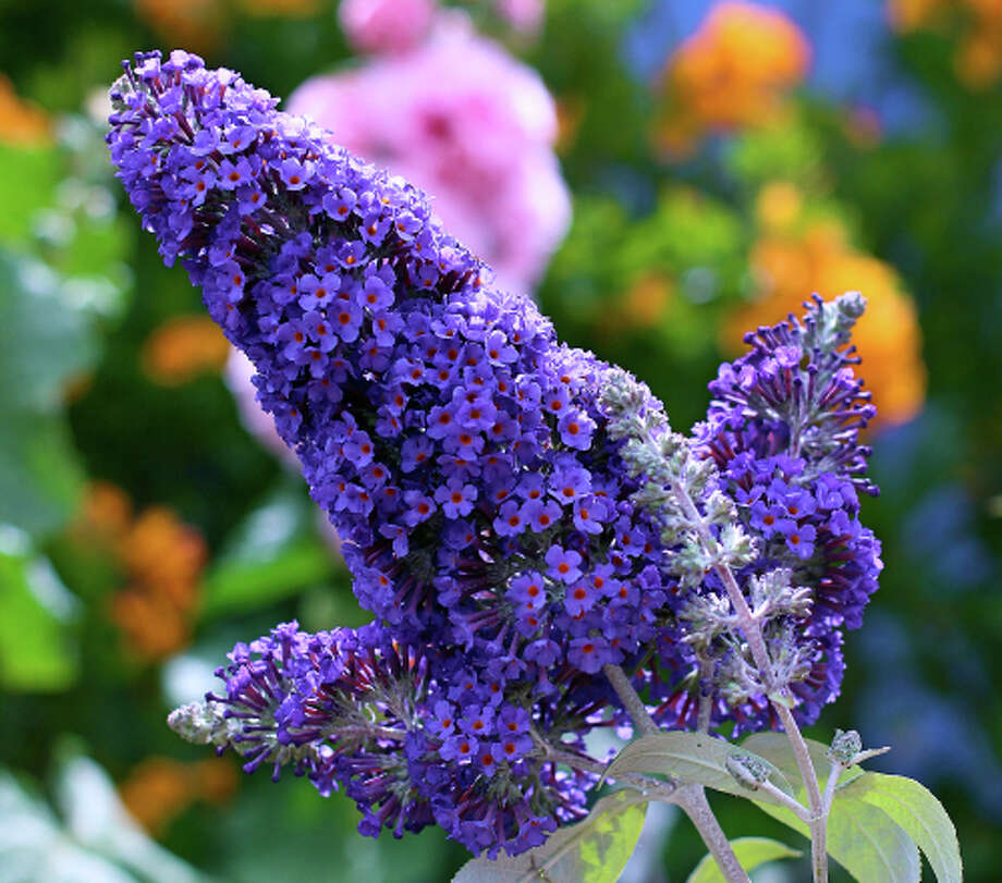Buddleja davidii Photo: Annie's Annuals & Perennials / ONLINE_YES