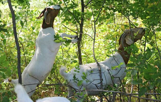 Goats are seen foraging through the woods at Heather Ridge Farm on Friday, Sept. 12, 2014 in Preston Hollow, N.Y. The farm has a cafe called Bee Knees Cafe and serves farm-to-table food. (Lori Van Buren / Times Union) Photo: Lori Van Buren / 00028534A
