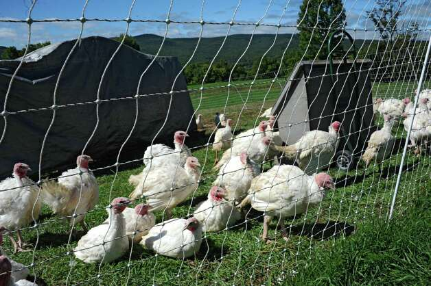 Turkeys bred for Thanksgiving dinner are seen at Heather Ridge Farm on Friday, Sept. 12, 2014 in Preston Hollow, N.Y. The farm has a cafe called Bee Knees Cafe and serves farm-to-table food. (Lori Van Buren / Times Union) Photo: Lori Van Buren / 00028534A