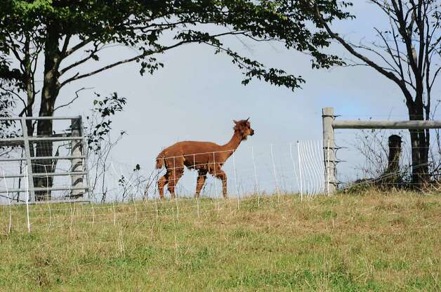 An alpaca is seen at Heather Ridge Farm on Friday, Sept. 12, 2014 in Preston Hollow, N.Y. The farm has a cafe called Bee Knees Cafe and serves farm-to-table food. (Lori Van Buren / Times Union) Photo: Lori Van Buren / 00028534A