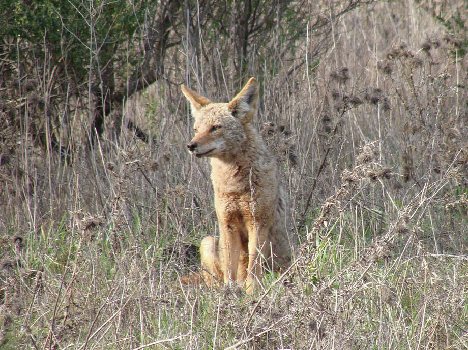 Coyotes have displaced 