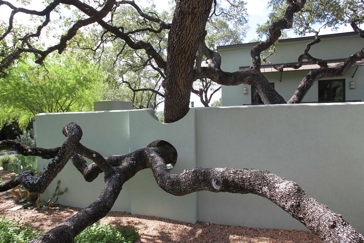 Holes in a stucco wall accommodate the branches of a live oak tree at one of six houses on the 2014 Watersaver Landscape Tour.