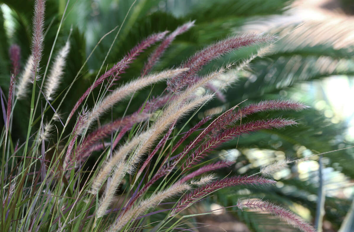 Purple fountain grass is among the plants at the Colonies North house featured on the 2014 Watersaver Landscape Tour.