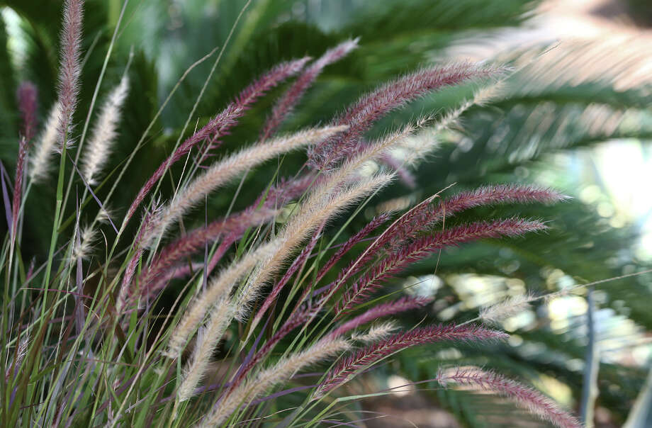 Purple fountain grass is among the plants at the Colonies North house featured on the 2014 Watersaver Landscape Tour. Photo: Tom Reel, San Antonio Express-News