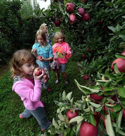 Marin Nolan, 8, left, Olivia Nolan, 10, Samantha Hansen, 10, and Kaitlyn Hansen 7, right,  from Clifton Park go apple picking at Bowman Orchards Thursday afternoon, Sept. 25, 2014, in Rexford, N.Y.  (Skip Dickstein/Times Union) Photo: SKIP DICKSTEIN