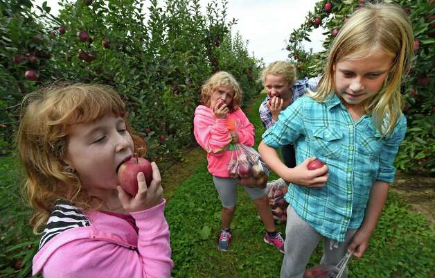 Marin Nolan, 8, left, Kaitlyn Hansen, 7, Samantha Hansen, 10, and Olivia Nolan, 10, right, from Clifton Park enjoy the fruits of their labor after apple picking at Bowman Orchards Thursday afternoon, Sept. 25, 2014, in Rexford, N.Y.  (Skip Dickstein/Times Union) Photo: SKIP DICKSTEIN
