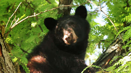 A 250-pound black bear sits in a tree along West Wooster Street in Danbury on June 4, 2013. Workers from the state Department of Energy and Enviormental Protection tranqulized the bear and it dropped into a net set up by the Danbury Fire Department.