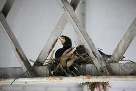 Nesting cormorants pose costly and time consuming problem for demolition of the old Bay Bridge span.
