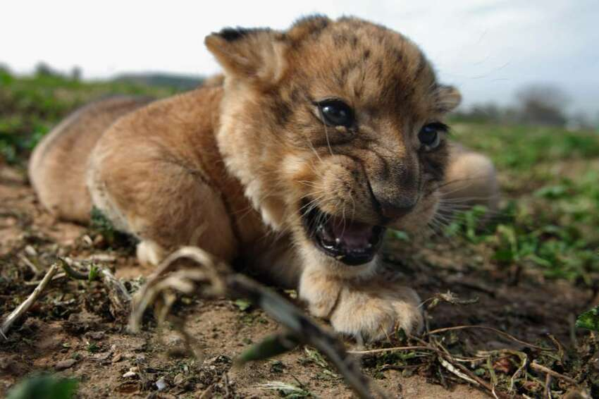 RAMAT GAN, ISRAEL - FEBRUARY 21: A one-month-old lioness cub explores her surroundings on its first outing on February 21, 2010 at the Ramat Gan Safari Park near Tel Aviv, Israel. The three still-unnamed cubs are the first triplet females to be born at the safari and officials say their birth will ensure the continuity of the park's pride of lions. (Photo by David Silverman/Getty Images)