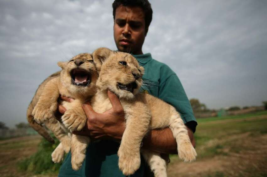 RAMAT GAN, ISRAEL - FEBRUARY 21: Three one-month-old lioness cubs are held by a keeper as they take their first outing on February 21, 2010 at the Ramat Gan Safari Park near Tel Aviv, Israel. The still unnamed cubs are the first triplet females to be born at the safari park and officials say their birth will ensure the continuity of the park's pride of lions. (Photo by David Silverman/Getty Images)