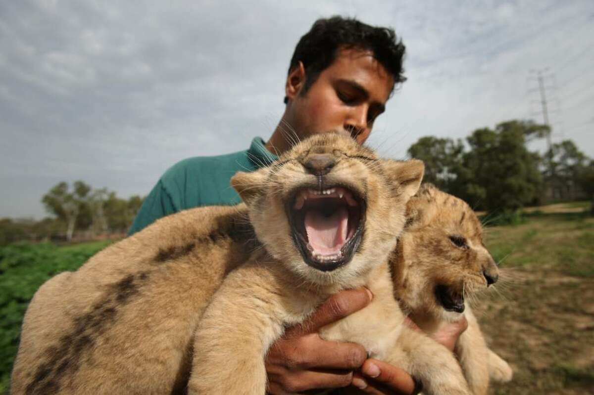 RAMAT GAN, ISRAEL - FEBRUARY 21: Three one-month-old lioness cubs are held by a keeper as they take their first outing on February 21, 2010 at the Ramat Gan Safari Park near Tel Aviv, Israel. The still-unnamed cubs are the first triplet females to be born at the safari and officials say their birth will ensure the continuity of the park's pride of lions. (Photo by David Silverman/Getty Images)