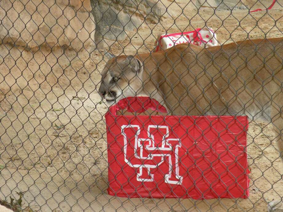 Shasta VI celebrated his third birthday at Houston Zoo Sunday. The cougar was picked as the first live mascot for U.H. football in 2012 after he arrvied at the zoo as an orphan.PHOTOS: Shasta through the years ... Photo: UH Alumni Association.