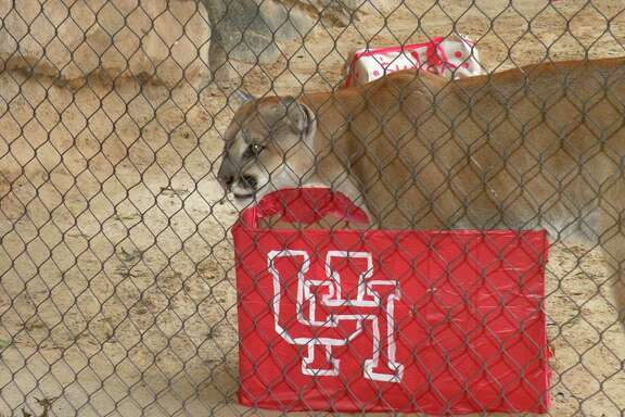 Shasta VI celebrated his third birthday at Houston Zoo Sunday. The cougar was picked as the first live mascot for U.H. football in 2012 after he arrvied at the zoo as an orphan.