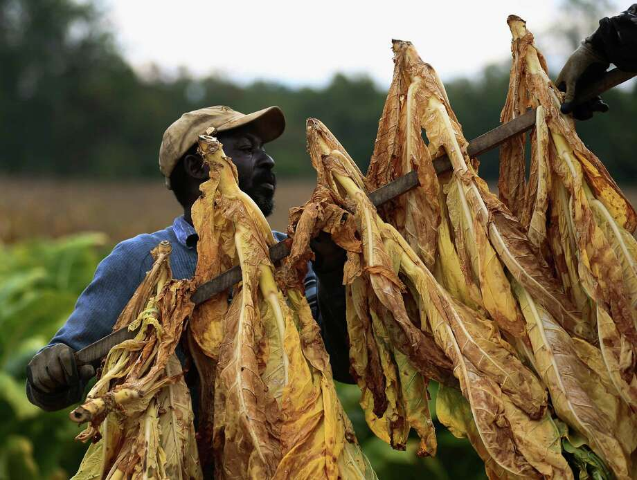 Hank Jefferson loads tobacco leaves onto a trailer before being hung to dry in a barn after being harvested at Lewis Farm September 29, 2014 in Owings, Maryland. Tobacco has been grown on the Lewis Farm for over 60 years and still requires to be harvested by hand. Starting next month the remaining tobacco growers in the U.S. will be forced to compete in the open market and will stop getting buyout checks from cigarette makers to compensate them for surrendering their quotas. Photo: Mark Wilson, Getty Images / 2014 Getty Images