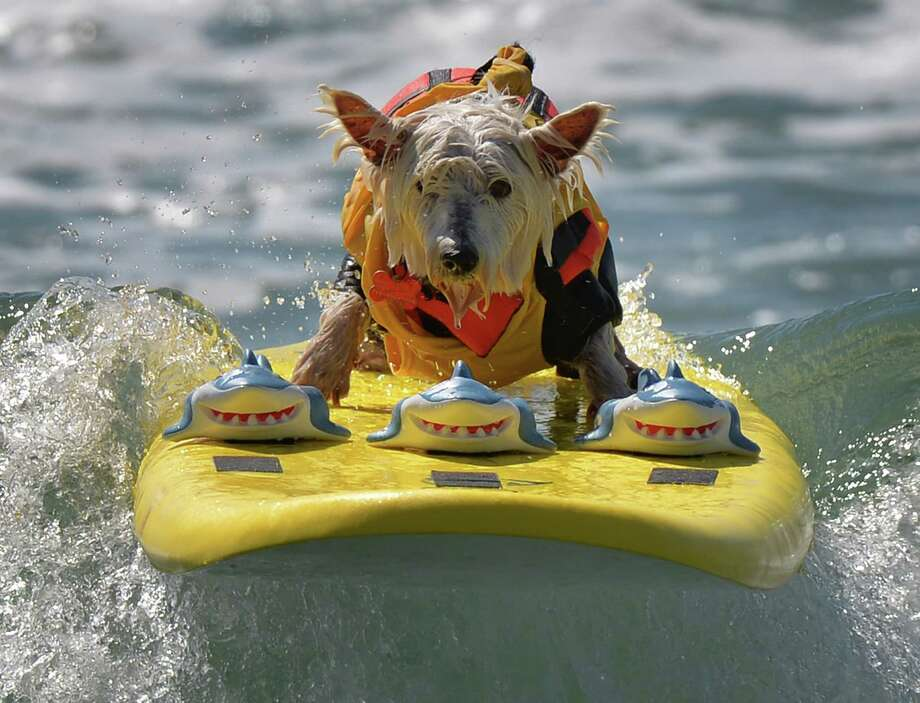 Surfer Dog Joey rides a wave in the small dog division. Photo: MARK RALSTON, Getty / AFP