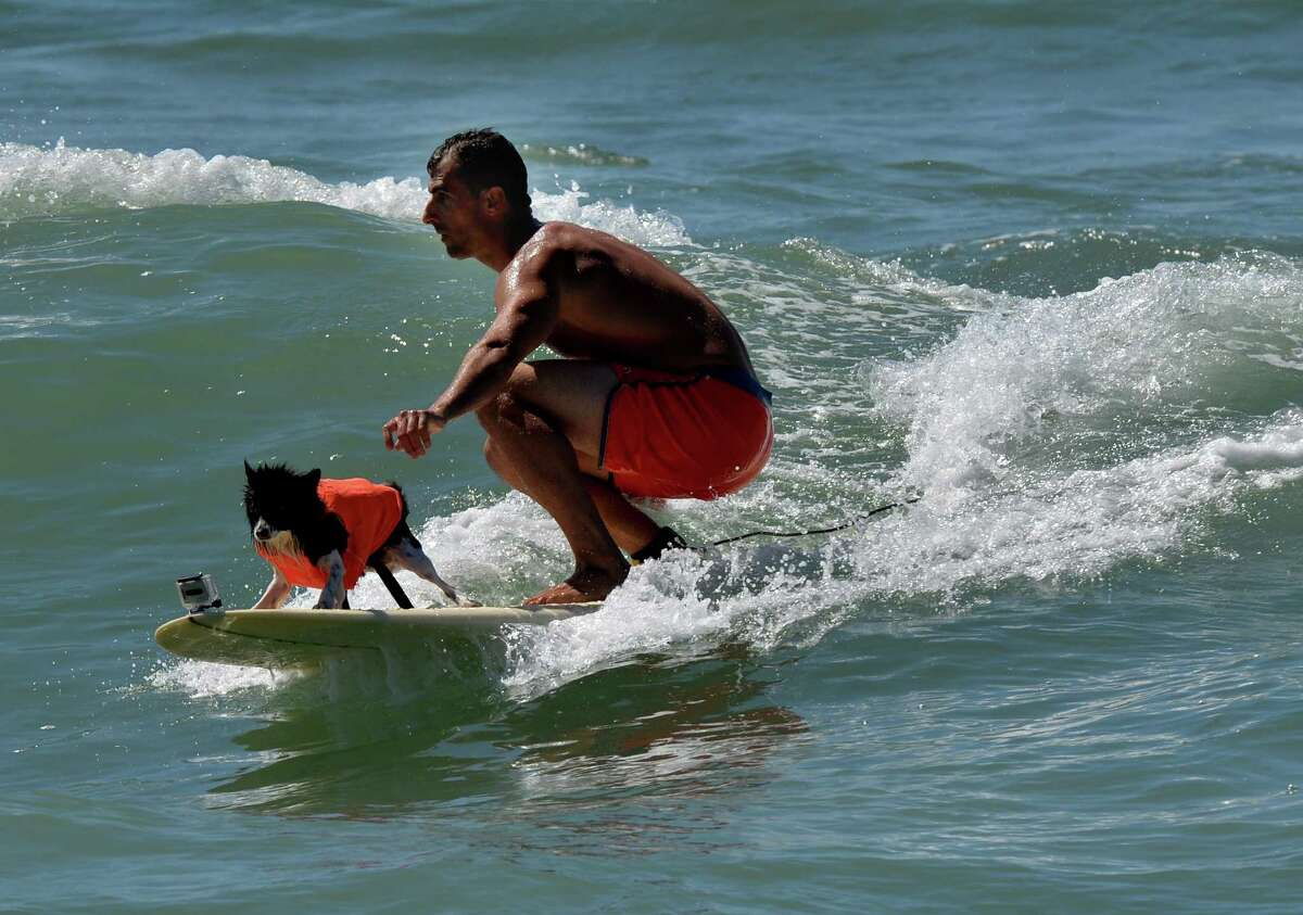 A Surfer Dog rides a wave in his tandem dog heat.