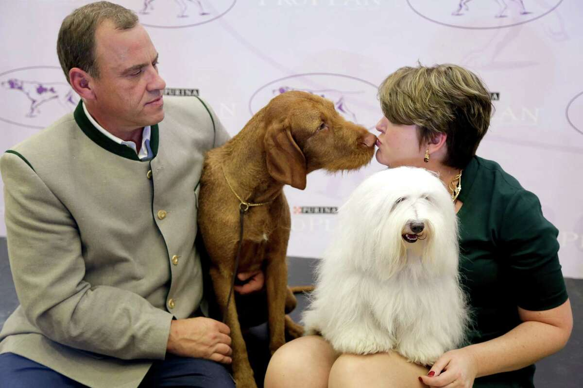 Falko, left, a wire-haired vizsla, and Luna, a coton de tulear, sit on stage with their owners, Anton Sagh, of Montreal, Quebec, and Adrianne Dering, of Morgantown, W.Va., during a news conference, Tuesday, Sept. 30, 2014, in New York. The Westminster Kennel Club announced that the two breeds will be eligible to compete for the first time in the New York show next February.