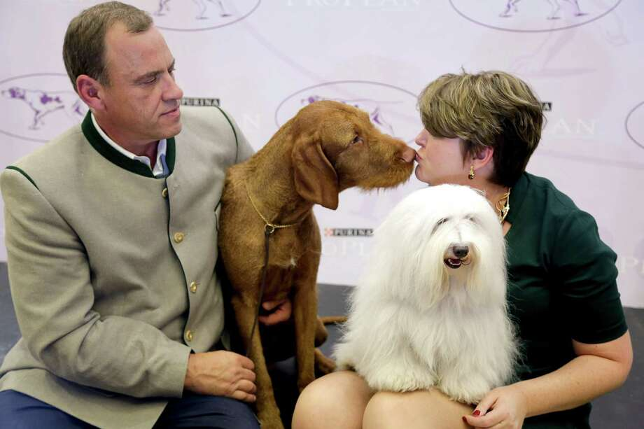 Falko, left, a wire-haired vizsla, and Luna, a coton de tulear, sit on stage with their owners, Anton Sagh, of Montreal, Quebec, and Adrianne Dering, of Morgantown, W.Va., during a news conference, Tuesday, Sept. 30, 2014, in New York. The Westminster Kennel Club announced that the two breeds will be eligible to compete for the first time in the New York show next February. Photo: Julie Jacobson, Associated Press / SP