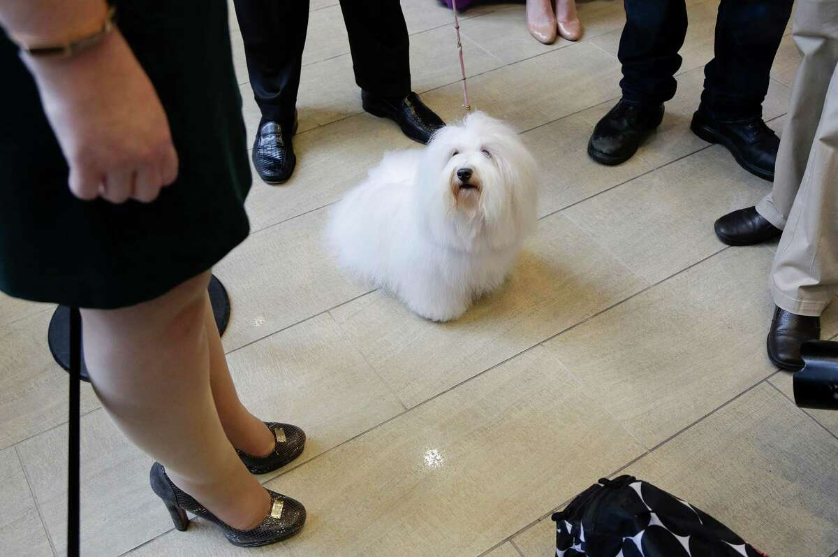 Luna, a coton de tulear, eyes her owner while waiting for a news conference to begin at Madison Square Garden, Tuesday, Sept. 30, 2014, in New York. The Westminster Kennel Club announced that the wire-haired visla and the coton de tulear will be eligible to compete for the first time in the New York show next February.