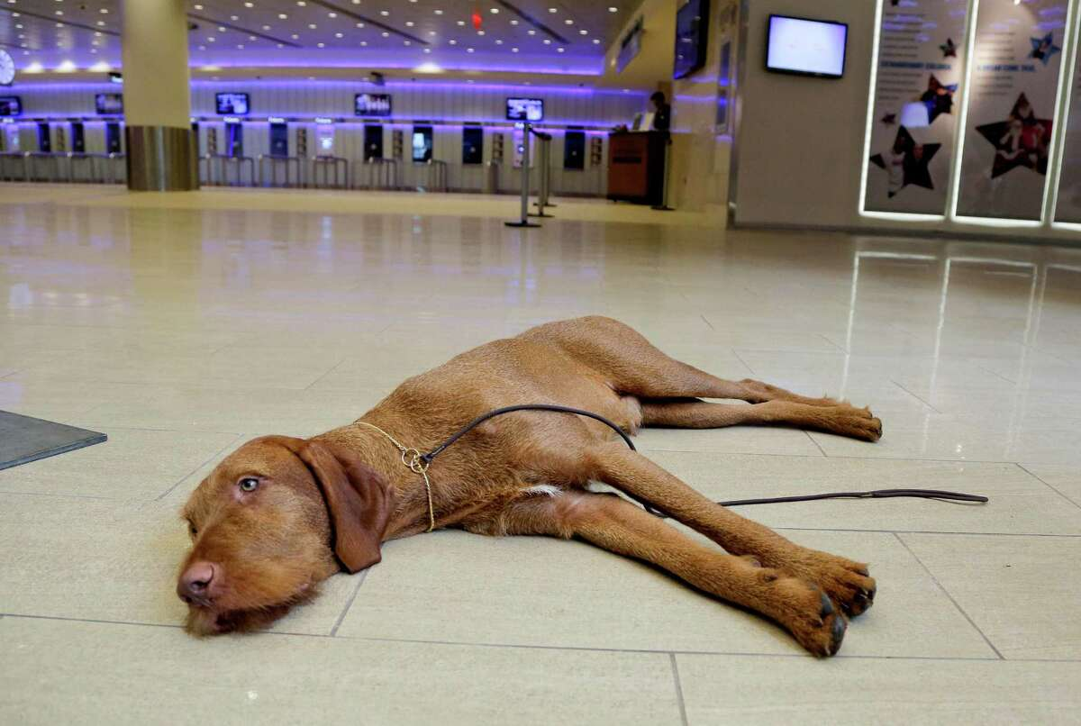 Falko, a wire-haired vizsla, rests in the lobby of Madison Square Garden before a news conference, Tuesday, Sept. 30, 2014, in New York. The Westminster Kennel Club announced that the wire-haired visla and the coton de tulear will be eligible to compete for the first time in the New York show next February.
