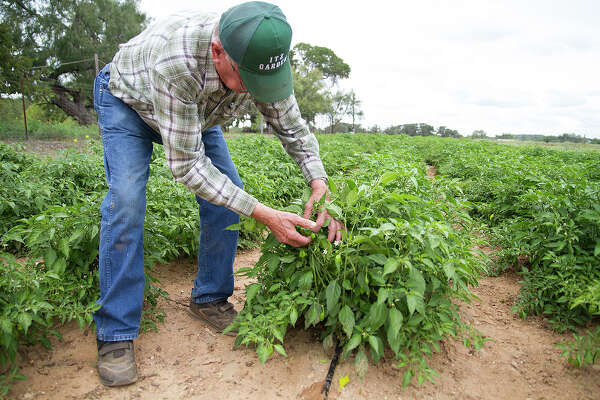 Habanero peppers are a newer crop for Melvin Itz at Itz Garden in Fredericksburg. He sells the habaneros and jalapenos to the H-E-B Warehouse.