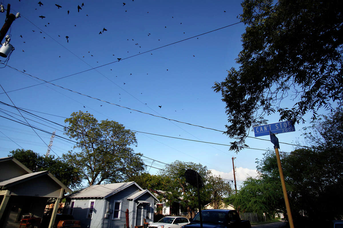 A flock of grackle fill the skies and nearby pecan trees along Can't Stop St., Wednesday evening, October 7, 2009.
