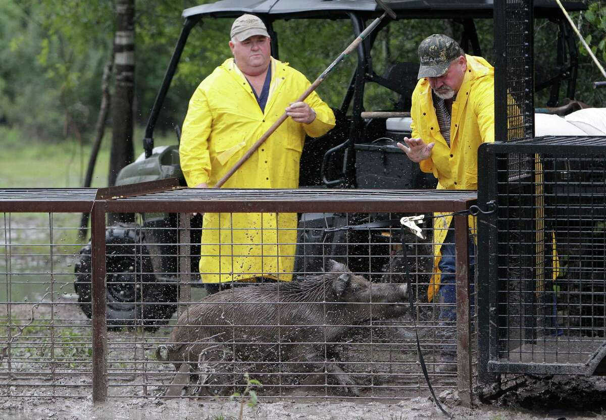 ( Left to Right ) David Schmidt and Junior Coursey load a pig into the transport trailer as part of the Harris County feral hog trapping program at Barker-Addicks reservoir on Thursday, Sept. 18, 2014, in Houston.