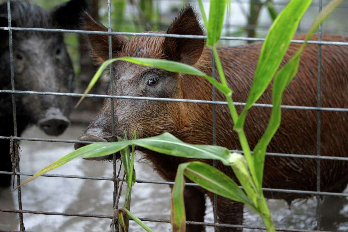 Feral hogs wait in the trap to be transported by the Harris County Precinct 3 feral hog trapping program at Barker-Addicks reservoir on Thursday, Sept. 18, 2014, in Houston. The program is funded by federal grant for the purpose of reducing erosion along the waterways. The crew traps hogs, load into cages, and hauled off to the processing plant where their meat is inspected before donation to the Houston Food Bank.