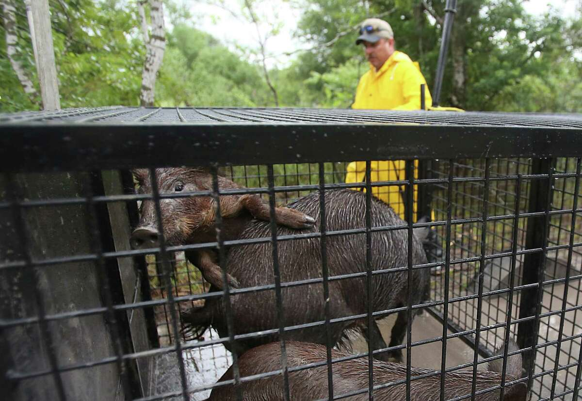 Mark Coursey secures feral hogs in a trailer as part of the Harris County Precinct 3 trapping program at Barker-Addicks reservoir.