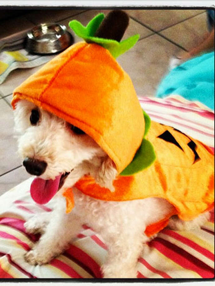 Pumpkins are the most popular pet costume this Halloween, according to the National Retail Federation. Photo: Courtesy Of Instagram