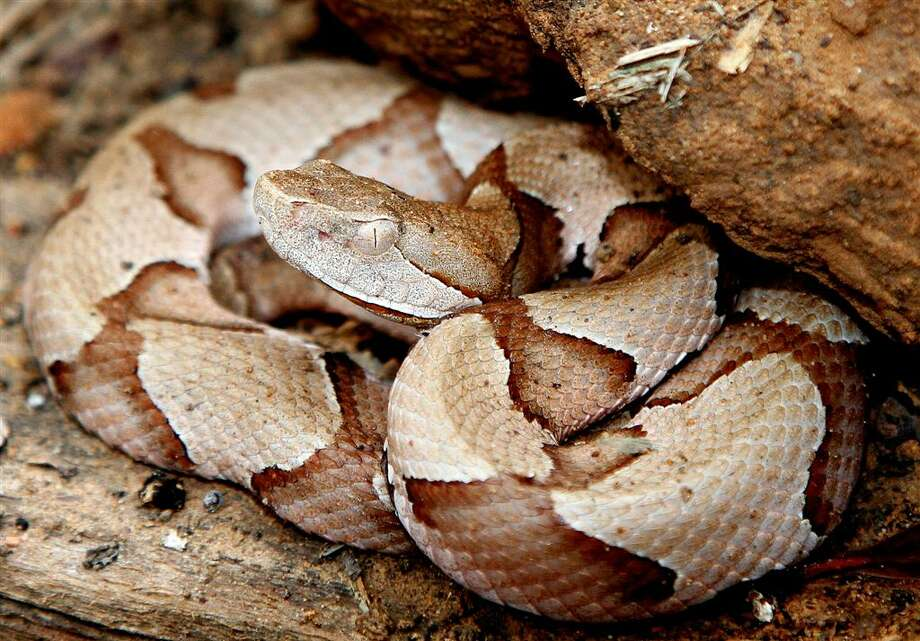Copperheads are the most common and widespread venomous snake in the eastern half of Texas, but doctors are uncertain about the best method of treating their bites. (Shannon Tompkins/Houston Chronicle)