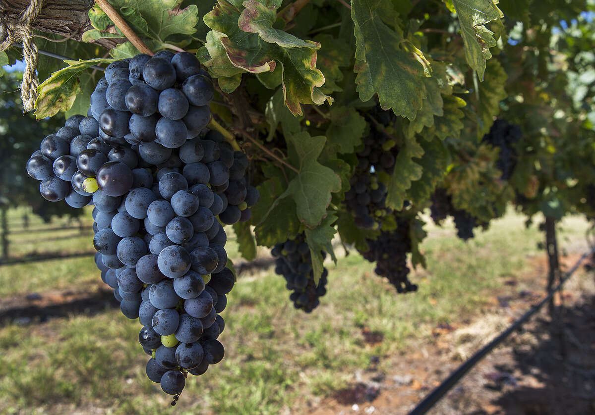 Tempranillo grapes grow at Tallent Vineyards in Mason. Tempranillo, a grape from Spain's Rioja region, does well in the dry and hot Texas climate.