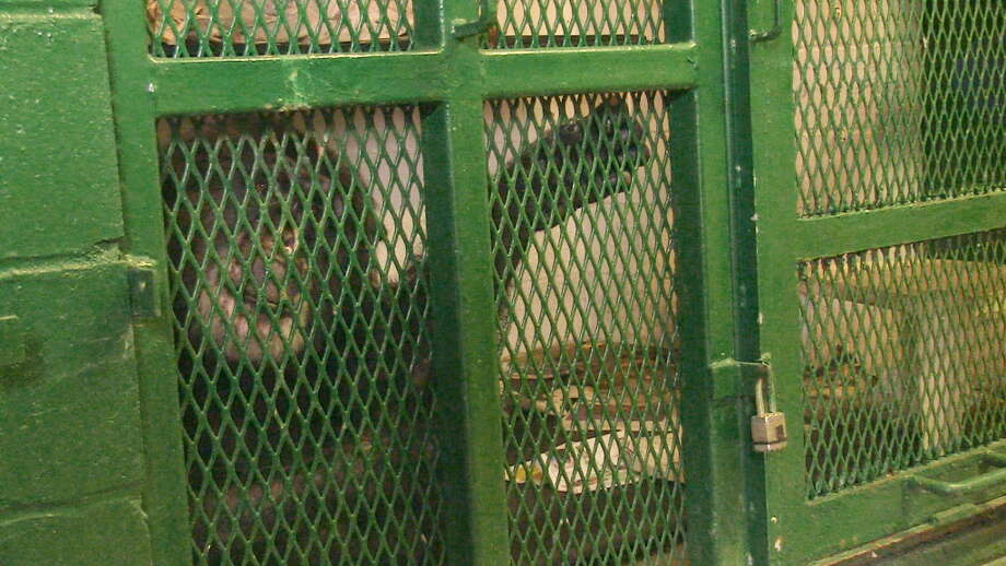 Tommy, a chimpanzee in Mayfield, in a photo taken by animal-rights attorney Stephen Wise. The chimp is owned by Patrick Lavery, who declined to provide a photo or allow the Times Union to visit the animal. (Photo contributed by Nonhuman Rights Project)
