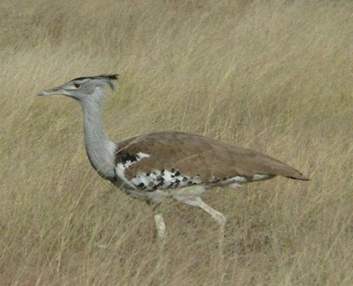 The Kori bustard, Africa's largest native flying bird, is a common sight in the grasslands of Namibia's Etosha National Park.