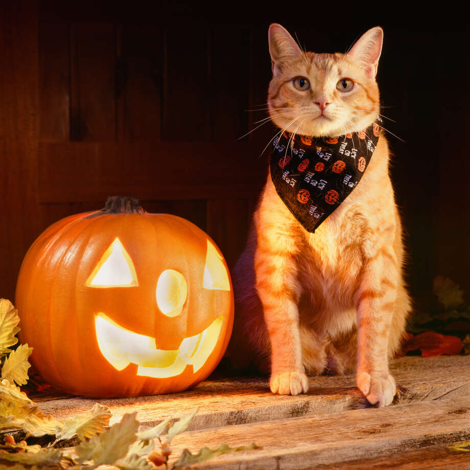 Click through the slideshow for the seven tips from San Antonio's Animal Care Services on how to protect your pet during the Halloween season.  Photo: GK Hart/Vikki Hart, Getty Images / (c) GK Hart/Vikki Hart