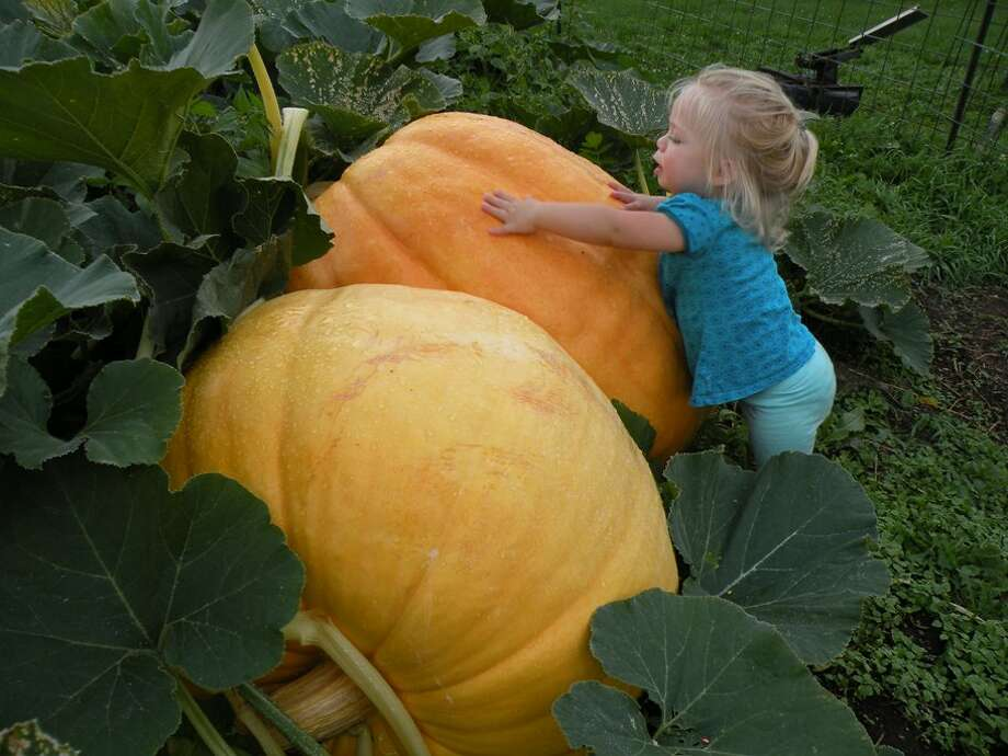 Jennie Pantschyschak checks out the giant pumpkins being grown by her grandfather, Norman Downing, in Cobleskill. Downing is donating the pumpkins to the 4th annual Schoharie Pumpkin Festival, which will be held Oct. 11. (Schoharie Promotional Association)