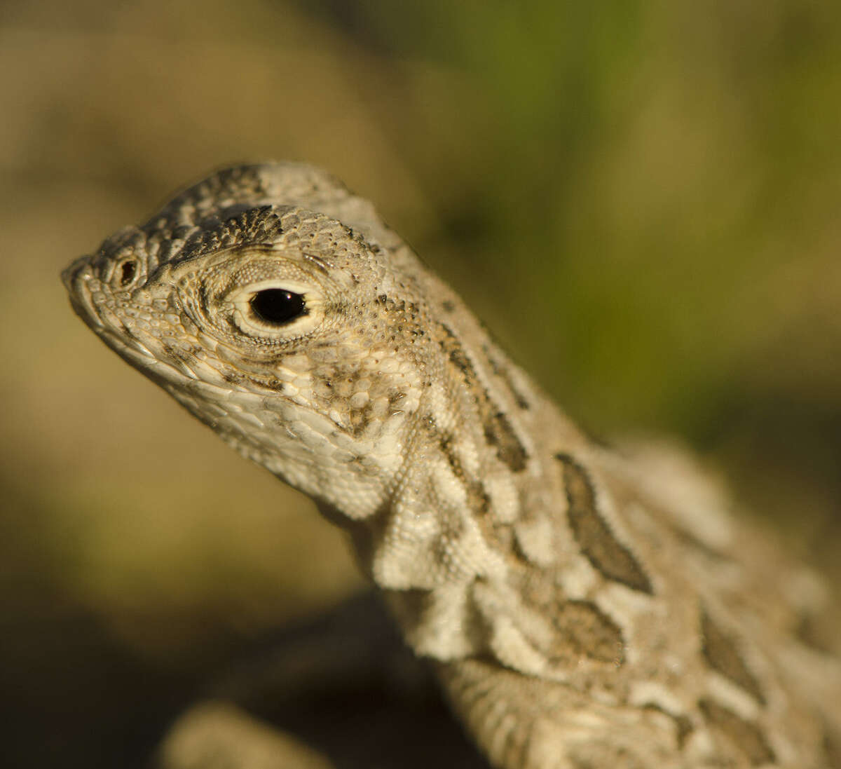 U.S. Fish and Wildlife says the spot-tailed earless lizard may warrant a listing as threatened or endangered.