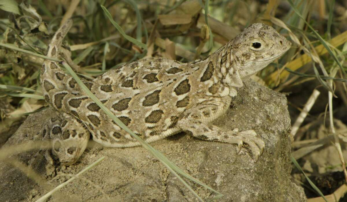 The spot-tailed earless lizard is about the length of a dollar bill. It once was thought to be locally extinct but was found at Laughlin AFB in Del Rio a few years ago.