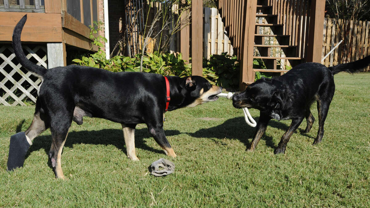 Lazarus, left, plays with a housemate in Helena, Ala., on Wednesday, Oct. 1, 2014. The mixed-breed dog survived a euthanasia attempt and a car accident before being found by a volunteer and given to a rescue organization. The dog is named for a man the Bible says Jesus raised from the dead.
